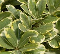 Shop Mojo Pittosporum - 2.5 Quart