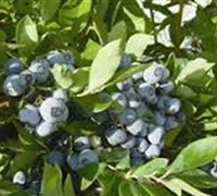 Ochlockonee Rabbiteye Blueberry