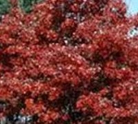 Shop October Glory Red Maple - 3 Gallon