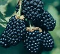 Ouachita Thornless Blackberry