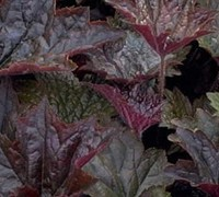 Palace Purple Heuchera