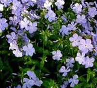Shop Blue Moon Woodland Phlox - 1 Gallon