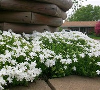 Shop White Creeping Phlox -  3 Count Flat of Pint Pots