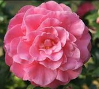 Shop Pink Stella Camellia - 2 Gallon