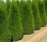 Shop Pyramidalis Arborvitae - 3 Gallon