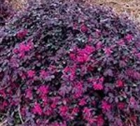 Shop Ruby Loropetalum - 2.5 Gallon