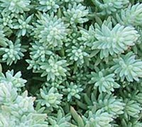 Shop Blue Spruce Stonecrop - 3 Count Flat of Pint Pots