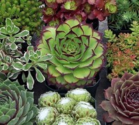 Shop Assorted Hardy Mix (3 of 6 varieties) Sempervivum  - 3 Count Flat of Pint Pots