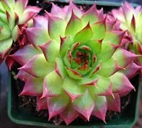 Shop Sunset Hen and Chicks - 3 Count Flat of Pint Pots