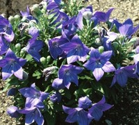 Sentimental Blue Dwarf Balloon Flower