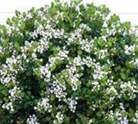 Snow White Indian Hawthorne 25 Quart Shrub Shrubs For Spring