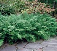 Shop Southern River Wood Fern - 1 Gallon