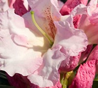 Shop Southgate Breeze Rhododendron - 2.5 Quart