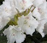 Southgate Divine Rhododendron