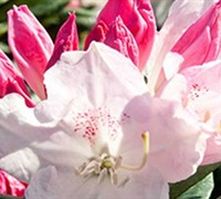 Shop Southgate Grace Rhododendron - 2 Gallon