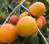Shop Tanenashi Japanese Persimmon - 5 Gallon