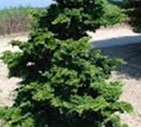 Shop Well's Special Hinoki False Cypress - 1 Gallon