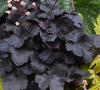 Shop Heuchera Little Cuties Coco - 3 Count Flat of Pint Pots