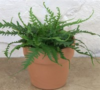 Shop Dragon's Tail Fern - 3 Count Flat of Pint Pots