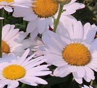 White Mountain Shasta Daisy
