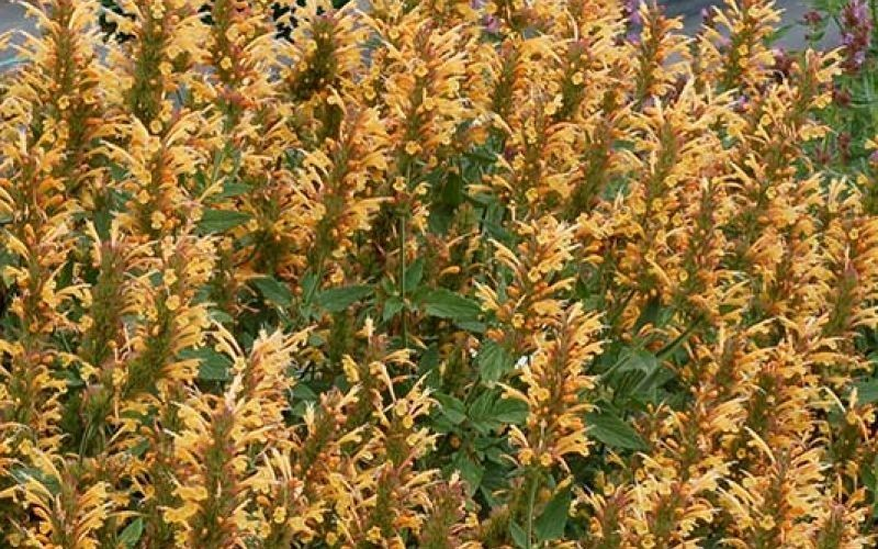 Kudos Gold Hyssop - 1 Gallon - Shrubs | ToGoGarden
