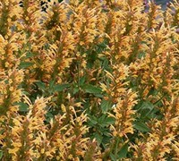 Shop Kudos Gold Hyssop - 1 Gallon