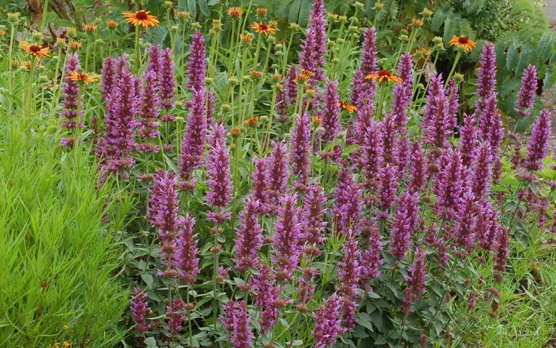 Kudos Silver Blue Hyssop - 3 Count Flat of Pint Pots - Perennial Plants | ToGoGarden