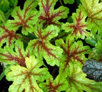 Alabama Sunrise Heucherella - Saxifragaceae Heucherella