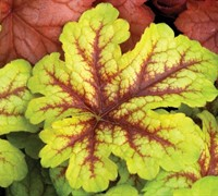 Shop Alabama Sunrise Heucherella - 2.5 Quart