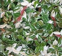 Jasmine Asiatic Variegated