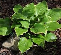 Shop Spartacus Hosta Lily - 1 Gallon
