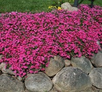 Shop Phlox Subulata 'Scarlet Flame'  - 1 Gallon