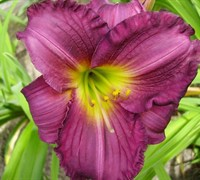 Shop Hemerocallis Purple De Oro Daylily - 1 Gallon
