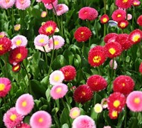 Bellis perennis 'Galaxy Red' - English Daisy