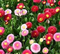 Bellis perennis 'Galaxy Rose' - English Daisy