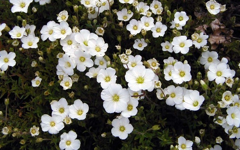 Mountain Sandwort - 18 Count Flat of Pint Pots - New Arrivals in 2019 | ToGoGarden