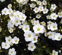 Shop Mountain Sandwort - 3 Count Flat of Pint Pots