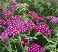 New Vintage 'Violet' - Yarrow