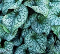 Alexander's Great Heartleaf Brunnera