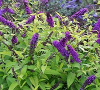 Scrophulariaceae Buddleja Monarch Crown Jewels Butterfly Bush