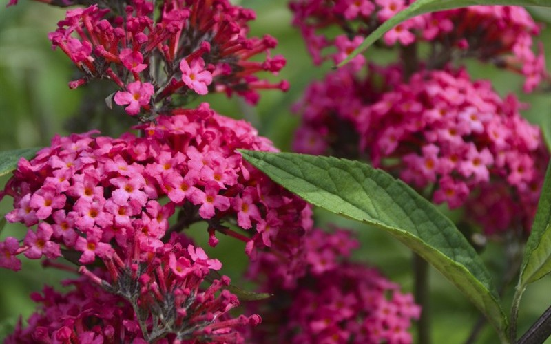 Monarch Prince Charming Butterfly Bush - 1 Gallon - Perennial Plants | ToGoGarden