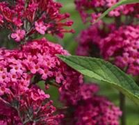 Scrophulariaceae Buddleja Monarch Prince Charming Butterfly Bush