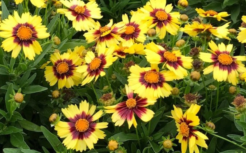 Uptick Yellow & Red Coreopsis