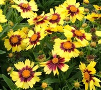 Shop Uptick Yellow & Red Coreopsis  - 1 Gallon