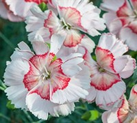 Dianthus American Pie - Georgia Peach Pie