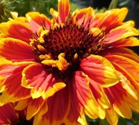 Asteraceae Gaillardia realflor  'Sunset Cutie'- Sunset Cutie Blanket Flower