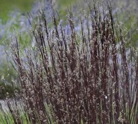 Smoke Signal Little Bluestem Grass - Schizachyrium