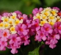 Shop Chapel Hill Pink Huff Lantana - 3 Count Flat of Pint Pots