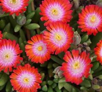 Shop Delosperma Jewel of the Desert Grenade - Ice Plant - 3 Count Flat of Pint Pots