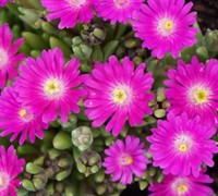 Shop Delosperma Jewel of the Desert Opal - Ice Plant - 3 Count Flat of Pint Pots